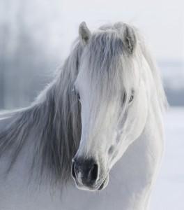 Hvide heste og pintoer er svære at fotografere i skarp sol, da de den hvide pels hurtigt brænder ud og bliver overbelyst.