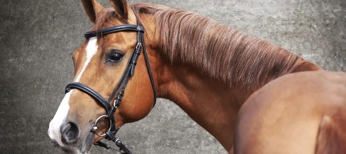 Fotografering af heste - rød vallak